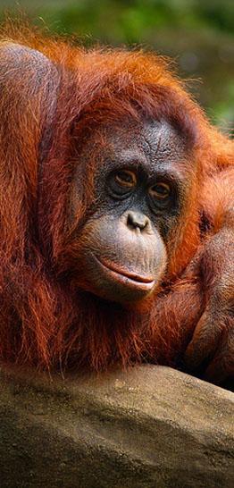orangoetan_sumatra