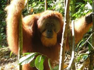 Bukitlawang Orang Oetan Sumatra